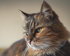 P9210046 (kata.varga) Tags: cat kitten animal animalphotography pet greeneye green fur furry bokeh closeup macro macrophotography nature