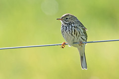 Meadow Pipit (drbut) Tags: meadowpipit anthuspratensis pipit trees bird birds wildlife nature canonef500f4lisusm
