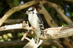 Downy Woodpecker (smkeereweer) Tags: downywoodpecker picoidespubescens gravesisland novascotia canada
