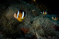 IMG_7406 (Gil Xavier) Tags: underwater scuba philippines canon fantasea g7xmk2 cebu moalbal turtlebay