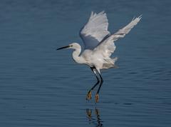 Zero-gravity Egret (Steve D'Cruze) Tags: little white nikon d500 150600mm sigma lunt meadows nature reserve