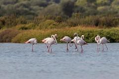 IMG_0853 Flamencos, Mallorca (Fernando Sa Rapita) Tags: baleares canon canoneos eos200d estrenc mallorca naturalpark parcnatural parquenatural sessalinas tamron tamron150600 ave bird flamenco flamingo pajaro teleobjetivo