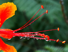 """but we need the rain."" (oybay©) Tags: droplets raindrops water rain arizona storm mexicanbirdofparadise mexican bird of paradise flower flora flores fleur fiori blumen native wildflower orange red yellow macro bokeh upclose plant tree outdoor sky"