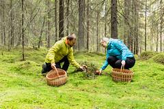 a couple picking mushrooms (VisitLakeland) Tags: finland kuopiotahko lakeland autumn forest hiking luonto luontokohde metsä nature outdoor retkeily sieni syksy walking