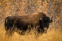 'Oh give me a home ...' (Canadapt) Tags: bison grass fall autumn yellowknife nwt canadapt