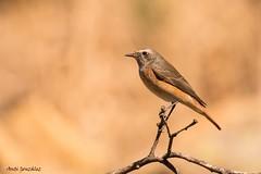 Colirrojo real hembra (morlokiano) Tags: fauna aves naturaleza birds charcas pajaros animales