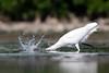 Drop the Hammer (PeterBrannon) Tags: bird florida fortdesoto greategretardeaalba nature tampa water wildlife catchingfish dropthehammer ocean splash