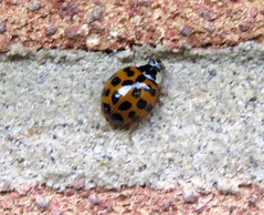Harlequin Ladybird (marksargeant57) Tags: canonpowershotsx60hs insect ladybird harlequin coleoptera coccinellidae succinea