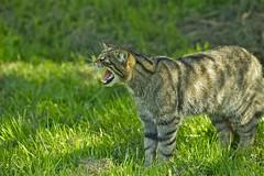 SCOTTISH WILDCAT (tony.cox27) Tags: scottish wildcat