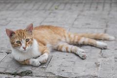 2018/07/07 11h04 chat, rue de Tunis (Rabat) (Valéry Hugotte) Tags: 24105 maroc rabat canon canon5d canon5dmarkiv cat chat gatos katze quartierhassan ruedetunis rabatsalékénitra ma