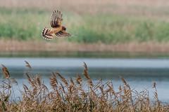 Norther Harrier (Kevin E Fox) Tags: northernharrier harrier bombayhookwildliferefuge bombayhook delaware sigma150600sport sigma bird birding birdwatching birds birdofprey nature nikond500 nikon