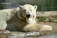 Lara - Nanook - Eisbären - Zoom Gelsenkirchen (ElaNuernberg) Tags: eisbärlara eisbärnanook zoomgelsenkirchen zoo zootiere zooanimals eisbär polarbear ursusmaritimus ijsbeer isbjorn orsopolare ourspolaire jääkaru niedźwiedźpolarny