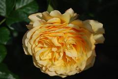 Die Jahre strömen gleich den Bächen (amras_de) Tags: rose rosen ruža rosa ruže rozo roos arrosa ruusut rós rózsa rože rozes rozen roser róza trandafir vrtnica rossläktet gül blüte blume flor cvijet kvet blomst flower floro õis lore kukka fleur bláth virág blóm fiore flos žiedas zieds bloem blome kwiat floare ciuri flouer cvet blomma çiçek