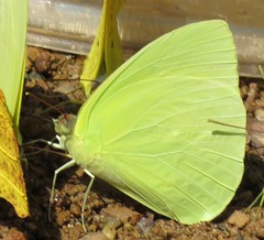 Aphrissa statira (Birdernaturalist) Tags: bolivia butterfly coliadinae lepidoptera pieridae richhoyer