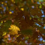 Golden Leaves thumbnail