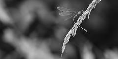 (Amanda Hinault - 風流韻事) Tags: ccbysa photobyamandahinault creativecommons pentax pentaxk1ii pentaxart macro proxi details insecte bugs noiretblanc blackandwhite nb noirblanc blackwhite bw monochrome libellulle dragonfly