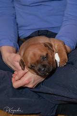 C00A9955.jpg (pka78-2) Tags: pentu rölli puppy röllivuoren staffie hulda staffi staffodshirebullterrier hpentue pennut