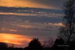 Sunset Return 2 (Steve Simmer) Tags: sandhillcranes sherburnenationalwildliferefuge