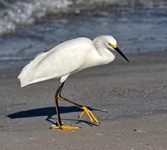 Walking the Beach (Darts5) Tags: goldenslippers snowyegret snowyegrets egret egrets bird birds seabird sea seashore nature 7d2 7dmarkll 7dmarkii 7d2canon ef100400mmlll closeup canon7d2 canon7dmarkll canon7dmarkii canon canonef100400mmlii