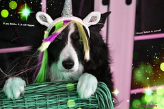 Always Believe in yourself (ASHA THE BORDER COLLiE) Tags: unicorn funny dog picture inspirational quote ashathestarofcountydown connie kells county down photography