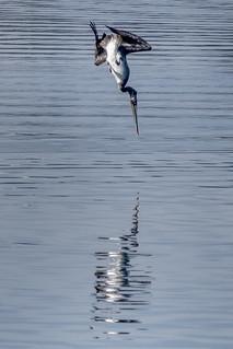 Brown Pelican Diving into Water, Lake Merritt Wildlife Sanctuary, Oakland, California