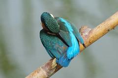 Preening Kingfisher (Hugobian) Tags: kingfisher bird birds nature wildlife fauna animal swt lackford lakes pentax k1