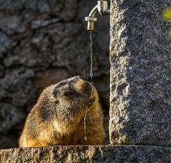 Marmota (Dani Maier) Tags: obergomsvs wallis schweiz ch murmeltier muggen marmota animal alpen