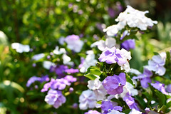 Yesterday-Today-and-Tomorrow (Brunfelsia pauciflora) (roanfourie) Tags: yesterdaytodaytomorrow violet purple white green daylight outdoors nature flower flowers plant plants smell bright september222018 nikon d3400 nikkor dx dslr raw photography september 2018 35mm afs weeklythemechallenge