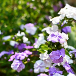 Yesterday-Today-and-Tomorrow (Brunfelsia pauciflora) thumbnail