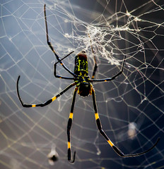 BendySpidey (mehtab94) Tags: nature spider spiders summer fall wildlife natgeo scary halloween insect web cobweb colors garden