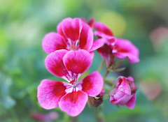 Beautiful Bloom (Through Serena's Lens) Tags: closeup nature dof pink colorful bright geranium pelargoniumxhortorum bud flora blooming plant petals flower bokeh canoneos6dmarkii