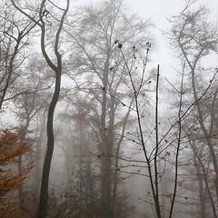 .... graue Nebel wallen (Rosmarie Voegtli) Tags: buntsindschondiewälder grauenebelwallen odc ourdailychallenge roots forest wald mist nebel arlesheim morningwalk hiking tree baum inexplore