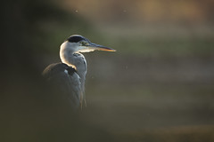 Grey Heron (Daniel Trim) Tags: ardea cinerea grey heron birds nature wildlife animals uk england london bushy park royal parks city bird animal