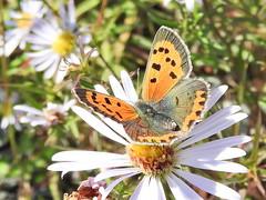 America Copper Butterfly (wanderview) Tags: lycaenaphlaeas americancopperbutterfly butterfly lower butterflyonflower