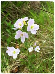 Cuckooflower (JulieK (thanks for 7 million views)) Tags: cardaminepratensis cuckooflower 100flowers2018 wildflower flora wexford ireland irish iphonese