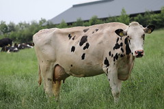 Delta Lesperron Twister (excellentzebu1050) Tags: dairycows livestock cow cattle farm farmer field animal animalportraits coth coth5 sunrays5