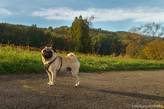 Pug in autumn (wketsch) Tags: at morning graz sunset zeiss pug sony pet autumn mariatrost dog landscape cute