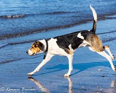 our hound (RCB4J) Tags: ayrshire clydecoast firthofclyde irvinebeach rcb4j ronniebarron scotland sonyslta77v sonydt18250mmf3563 art dogwalking dogs gundogs photography playing sand sea siameselurcher spaniel trailhound