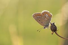 Accroché à sa lanterne... (Gisou68Fr) Tags: papillon butterfly argusbleu polyommatusicarus bokeh vert green pré meadow canoneos650d ef100mmf28lmacroisusm