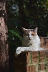 feeling good (rootcrop54) Tags: graciejo neighbor neighbors female dilute calico cat brickwall sunny sunshine neko macska kedi 猫 kočka kissa γάτα köttur kucing gatto 고양이 kaķis katė katt katze katzen kot кошка mačka gatos maček kitteh chat ネコ cc100
