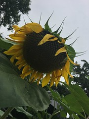 Sunflower (Area Bridges) Tags: sunflower sunflowers yard home iphone 20170729 201707 2017 july summer