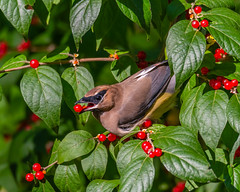 Out To Lunch... (ragtops2000) Tags: bird cedarwaxwing berry red tree migration fall colorful food quick nature wild amazing detail eye lake green leaves