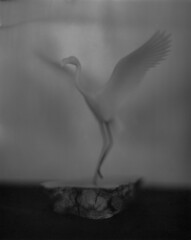 Flamingo Fly (Yoshikatsu Sato) Tags: speedgraphic aeroektar rodinal
