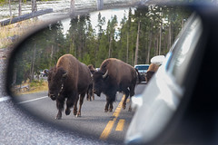 2018-09-trip-3-yellowstone-4-wildlife-mjl-23 (Mike Legeros) Tags: wyoming yellowstone nationalpark bison bisonjam buffaloroam