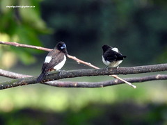 DSCN4329 White-rumped Munia (Lonchura striata) (vlupadya) Tags: greatnature animal aves fauna indianbirds whiterumped munia lonchura kundapura karnataka