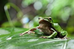2J4A8048 (ajstone2548) Tags: 12月 樹蛙科 兩棲類 翡翠樹蛙