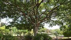 Árvores da Vida (Francisco Aragão) Tags: arvoresdavida brasília distritofederal brasil urbana df franciscoaragão fotografo fotografia cores galhos planopiloto folhas centrooeste planaltocentral asanorte sonyxperiaxzpremium xperia brazil capitaldobrasil
