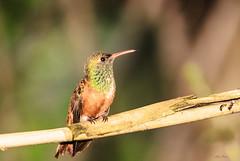 UN COLIBRI    ----    HUMMINGBIRD (Ezio Donati is ) Tags: uccelli birds animali animals natura nature alberi trees italia oasisantalessio provinciadipavia