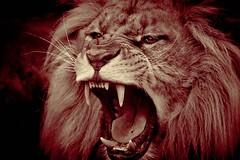 red savagery (rondoudou87) Tags: lion monochrome red rouge rondoudou87 pentax parc park parcdureynou zoo reynou nature natur portrait dents teeth sauvage sigma k1
