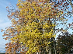 Fall colours on Bate Island (Pwern2) Tags: gatineau quebec bateisland ncc nationalcapitalcommission ottawariver ísland fall fallcolours fallseason fallfoliage fallleaves colour trees macro